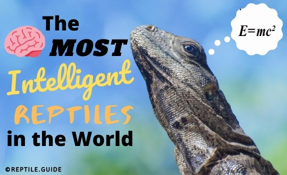 Most intelligent reptiles