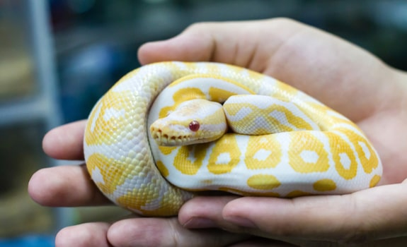 15 Best Pet Snakes For Beginners To Own Enjoy With Pictures