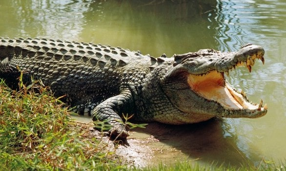 Smartest reptiles saltwater crocodile