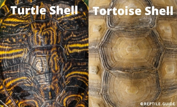 Turtle and tortoise shell comparison
