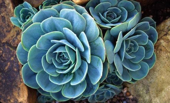 best plants for a vivarium echevaria