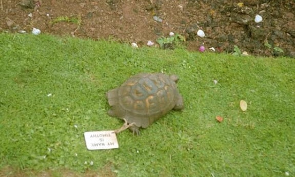 famous tortoise timothy