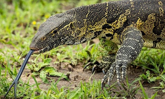 most intelligent reptiles monitor lizard
