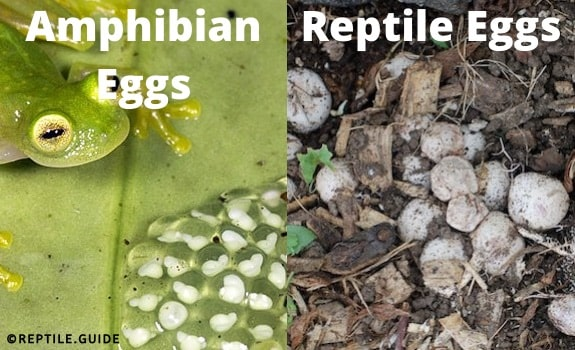 reptiles vs amphibians reproduction