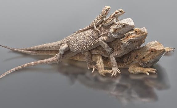 small and large bearded dragons