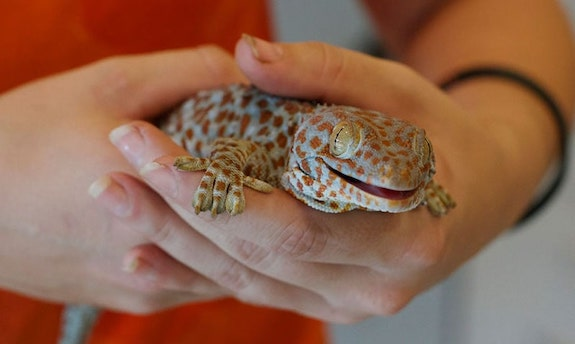 tokay gecko worst pet lizard for beginners