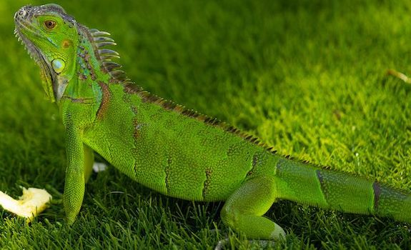 6 Vegetarian Reptiles That Make For Great Pets No Bugs Or Mice Needed