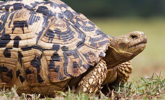 vegetarian reptile leopard tortoise