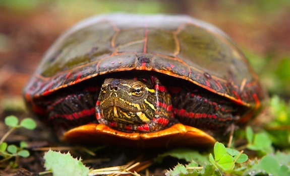 vegetarian reptile painted turtle