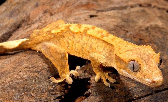 vegetarian reptiles crested gecko