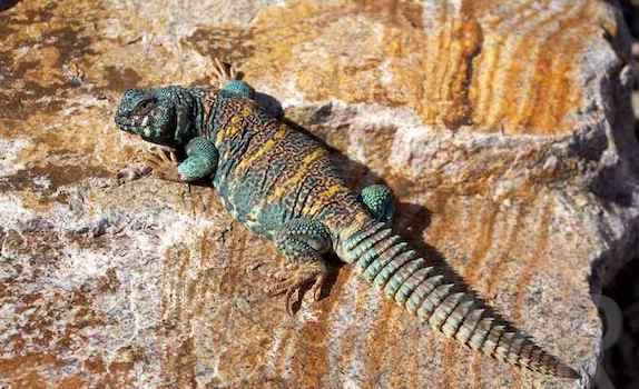 vegetarian reptiles uromastyx