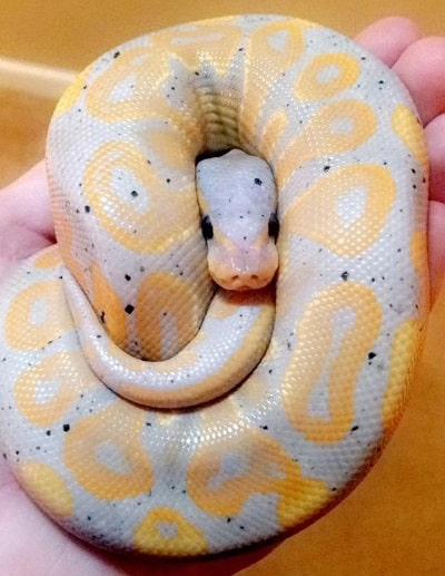 Beautiful Cookies and Cream Ball Python