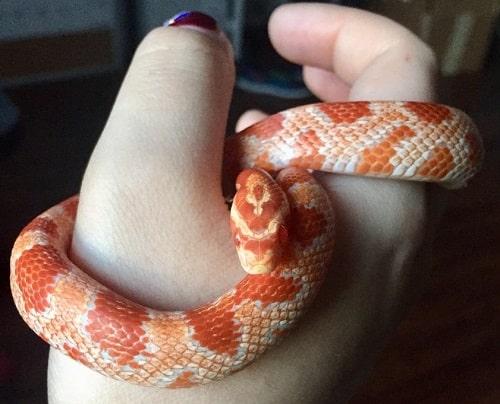 Cute Albino Corn Snake