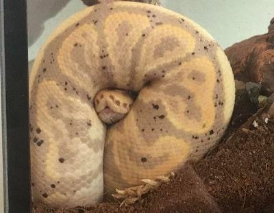 Cute Banana Cinnamon Ball Python