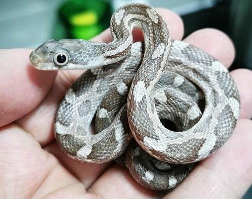Cute Texas Rat Snake