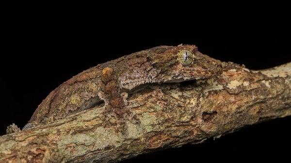 Flying Gecko On Branch