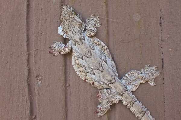 Flying Gecko On Wall