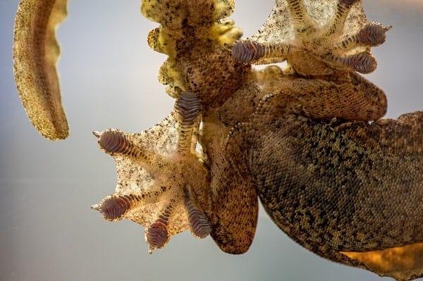 Flying Gecko Webbed Feet