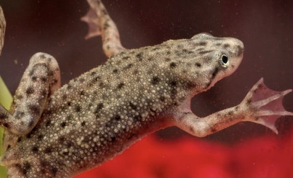 best pet frogs african dwarf frog