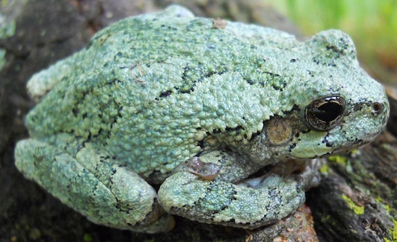 best pet frogs gray tree frog