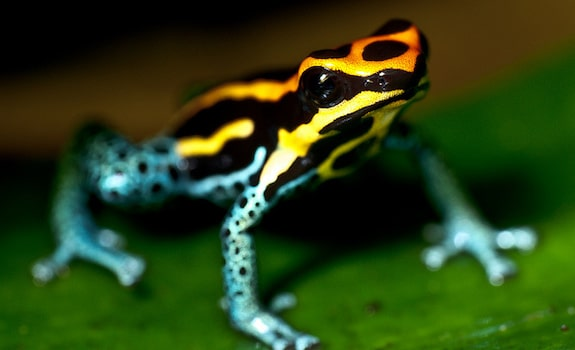 best pet frogs poison dart frog