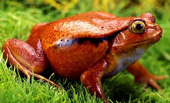 best pet frogs tomato frog