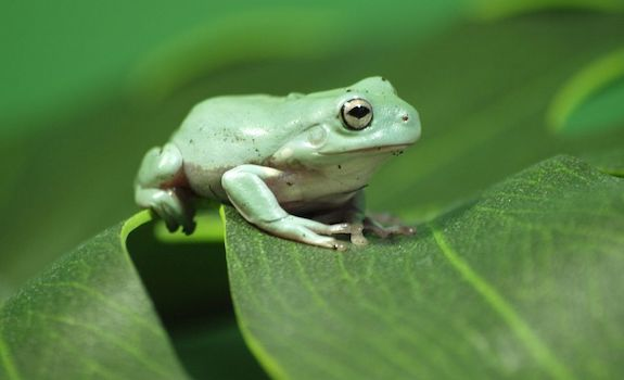 best pet frogs whites tree frog