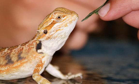 hungry bearded dragon being hand fed