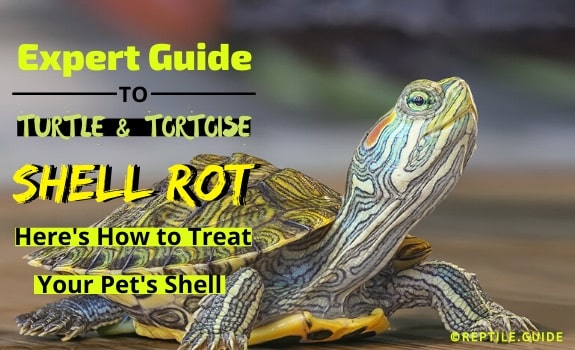 Shell Rot In Turtles Tortoises Here S How To Treat Their Shell Now