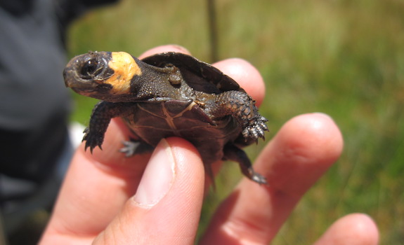 6 Irresistibly Cute Pet Turtles That Stay Small Forever With Pictures