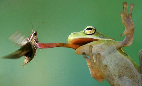 frog eating live bug