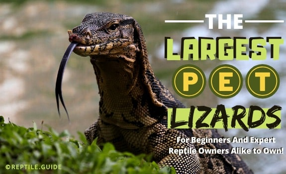largest pet lizards