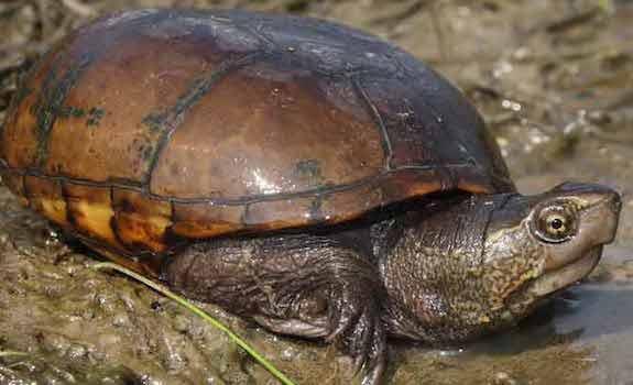 mississippi mud turtle