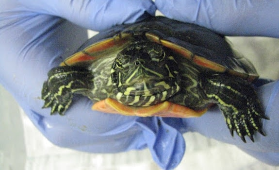 turtle at vet