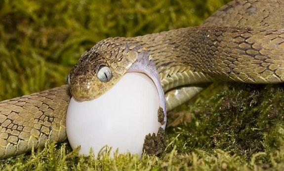 African Egg Eating Snake Dasypeltis Gansi