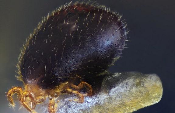 Reptile Mite Ophionyssus Natricis