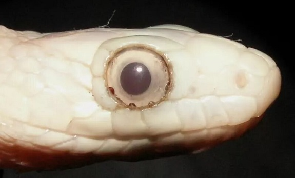 Snake with mites lodged in eye