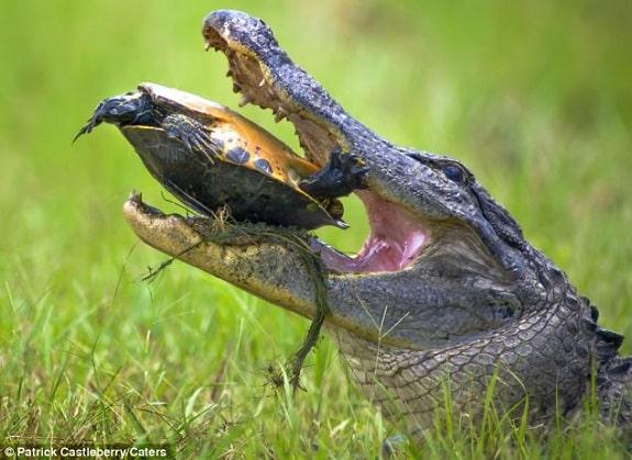 Alligator Attacking Turtle