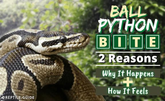 Ball Python Bite 2 Reasons Why It Happens PLUS How It Feels
