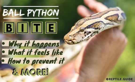 Ball Python Bite