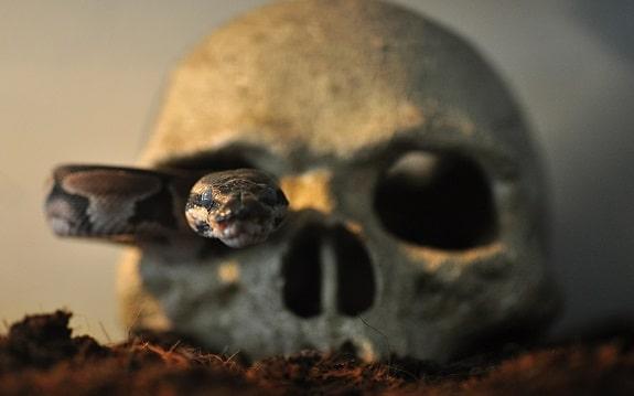 Ball Python Having Fun Slithering Through Skull Tank Decor
