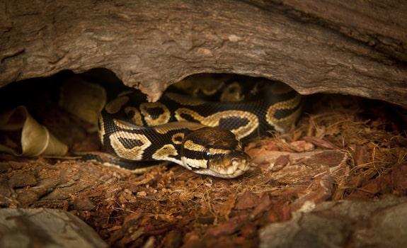 Ball python enclosure and tank setup