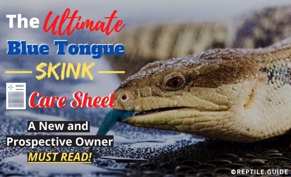 Blue Tongue Skink Care