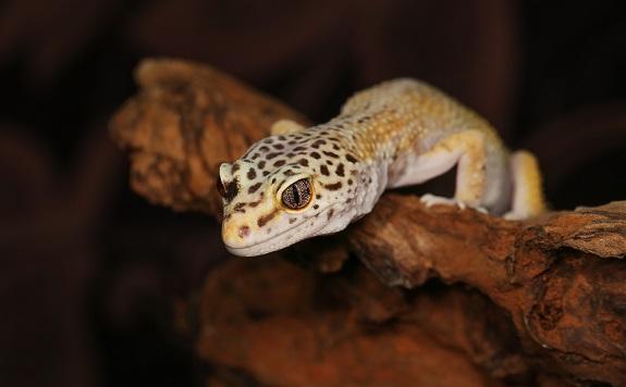Leopard Gecko Habitat and Tank Setup