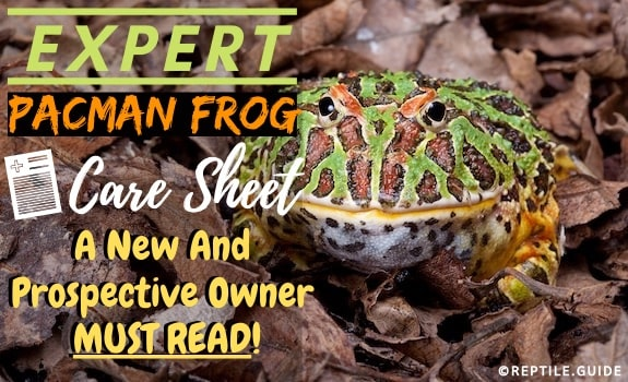 Pacman frog care sheet