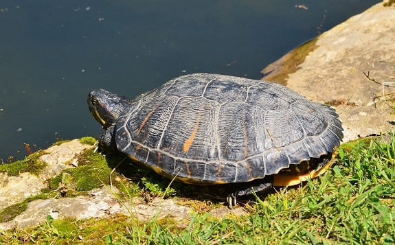 Red Eared Turtle Basking Near Water