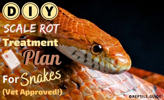 Scale Rot in snakes