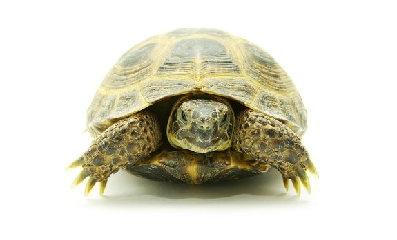Turtle in Shell Staring at Camera