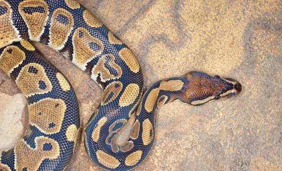 ball python background information