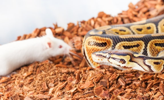 ball python diet and feeding guidelines